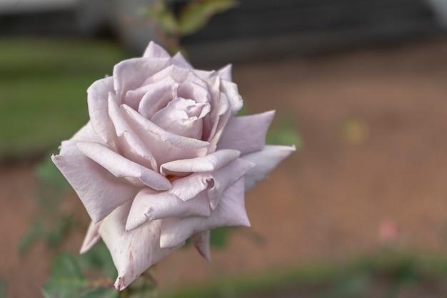 Varietà di rose lady x coltivata nel roseto di palermo a buenos aires. piante ornamentali