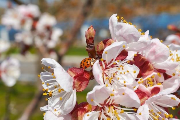 Coccinella sui fiori di albicocca si chiuda