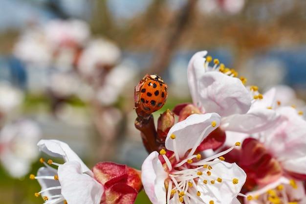 Coccinella su un ramo di albicocche