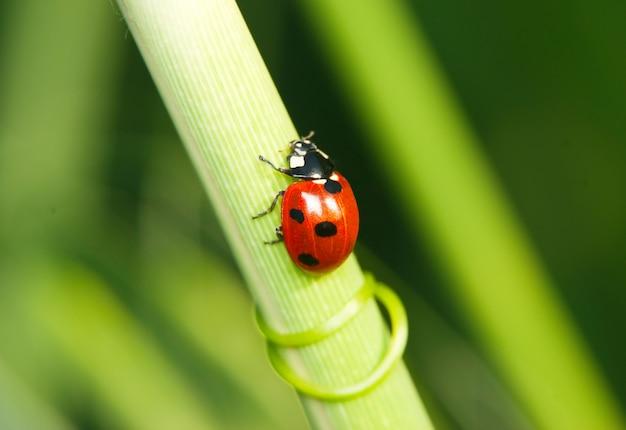 Coccinella che striscia sul gambo dell'erba