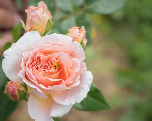 Coccinella su bottone di rosa, sfondo di fiori primaverili