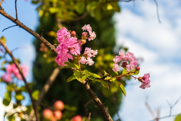 Lagerstromia o lillà indiano in fiore. luminosa giornata di sole. ottimo sfondo per il sito.
