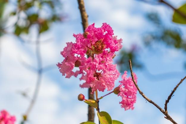 Lagerstromia o lillà indiano in fiore.
