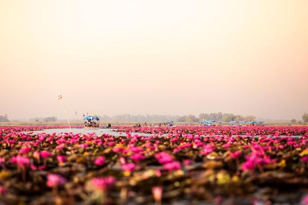 Lago di loto rosa (mare di loto rosso thailandia)