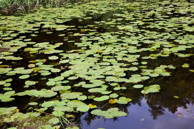 Lago con ninfee in crescita