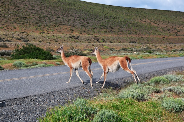 Lama nel parco nazionale torres del paine, patagonia, cile
