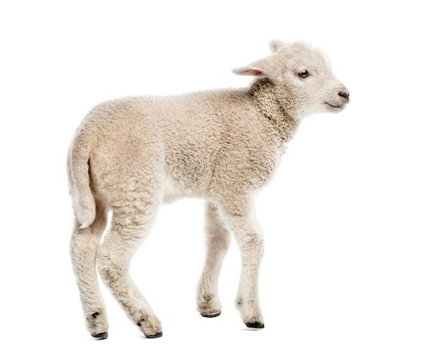 Agnello (8 settimane di età) isolato su bianco