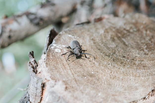 Lamia textor - insetto dello scarabeo tessitore su una corteccia di albero