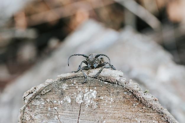Lamia textor - insetto dello scarabeo tessitore su una corteccia di albero.