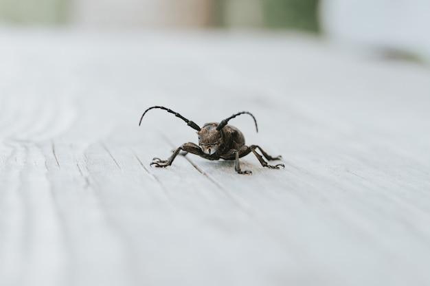 Lamia textor - insetto dello scarabeo tessitore su una tavola di legno