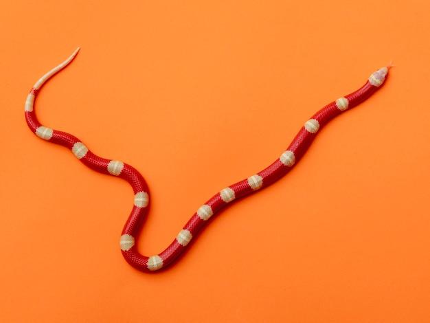 Lampropeltis triangulum, comunemente noto come serpente del latte o serpente del latte, è una specie di serpente reale.