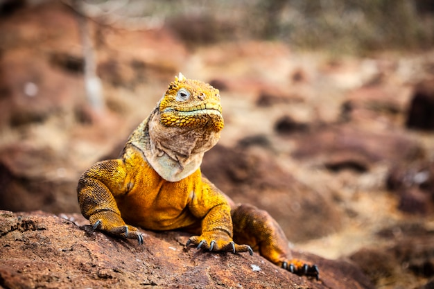 Iguana terrestre (conolophus subcristatus) endemica delle isole galapagos. lucertole (conolophus) nel mondo animale tropicale. osservazione dell'area faunistica. avventura in vacanza in ecuador