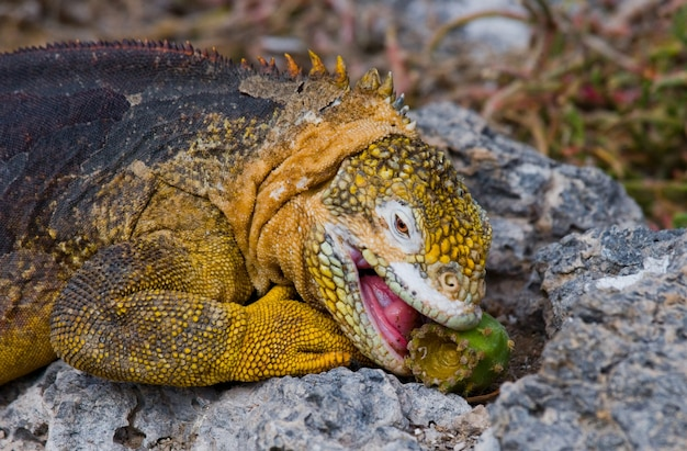 L'iguana di terra sta mangiando il cactus