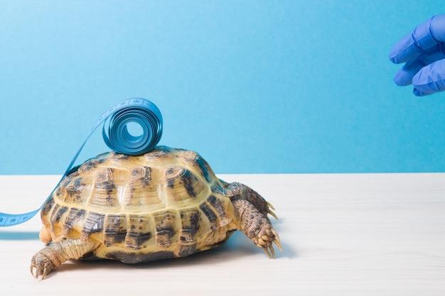 Tartaruga di terra e nastro di misurazione blu sul guscio