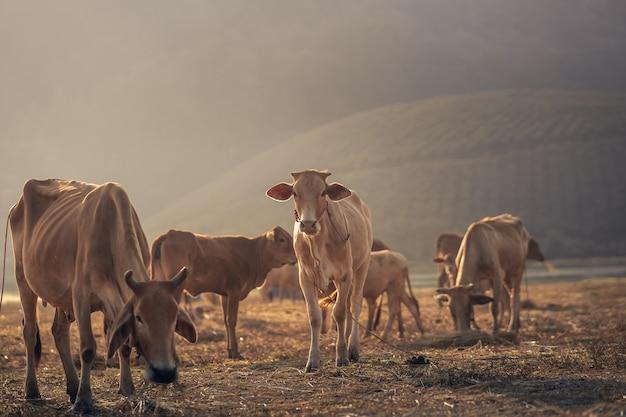 Concetto di animali del paesaggio, gruppo di mucche che mangiano sull'alba della montagna del campo
