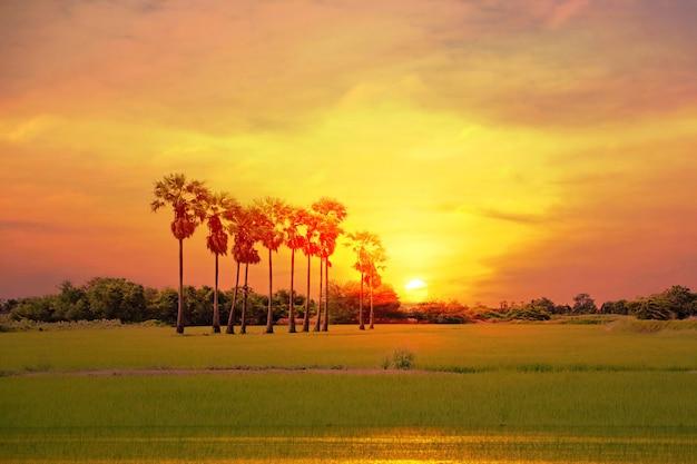 Abbellisca la palma asiatica di palmyra o la palma da zucchero con il tramonto multicolore che riflette la luce del cielo sul fondo astratto della natura del campo