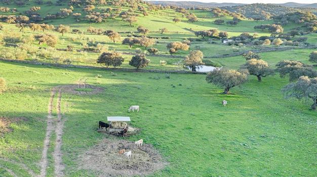 Paesaggio di bovini nel prato della dehesa nei campi della spagna