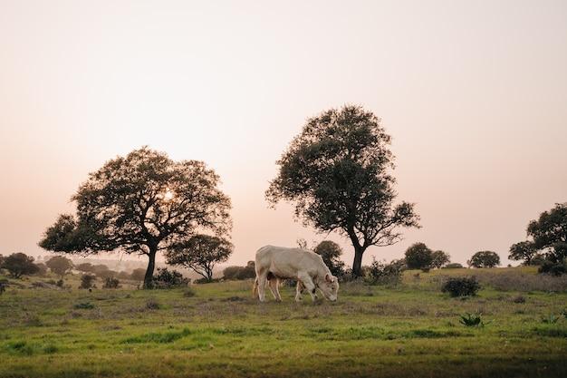 Paesaggio del pascolo dell'estremadura in una fattoria ricca di lecci, mucche e vari alberi del tipico ecosistema qui