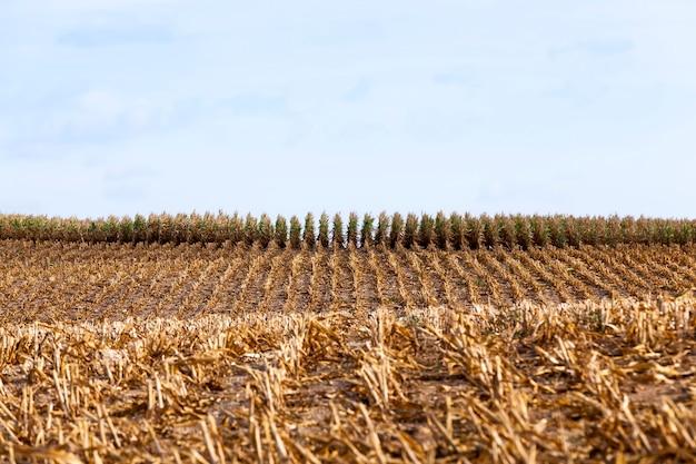 I germogli di mais verdi del paesaggio in primavera o in estate, il mais in un campo agricolo, i chicchi di mais sono usati sia per cucinare cibo, mangimi per bestiame e per la produzione di biocarburante ecologico etanolo