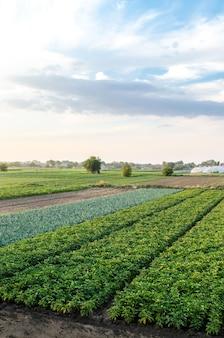 Paesaggio della piantagione di cespugli di patate verdi. coltivazione di cibo in fattoria.