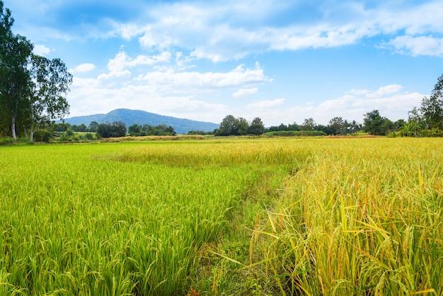 Abbellisca il giacimento verde del riso con il fondo della montagna e del cielo blu - l'agricoltura gialla e verde dorata del giacimento del risone