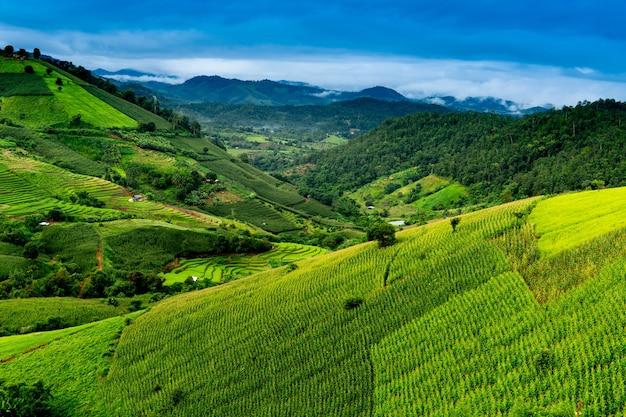 Paesaggio di terrazza di riso verde e campo di mais al villaggio di pa bongpiang durante il mese di settembre nella stagione delle piogge, chiangmai, thailandia