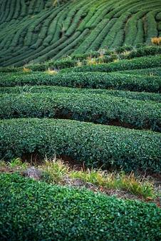 Paesaggio della piantagione di tè verde