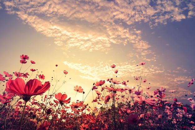 Paesaggio sfondo natura del bel campo di fiori rosa e rosso cosmo con il sole. tono di colore dell'annata