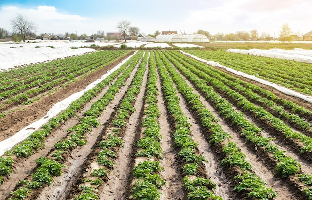 Paesaggio del campo di piantagione di giovani cespugli di patate dopo l'irrigazione. verdure verdi fresche