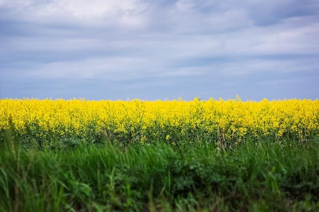 Paesaggio del campo di colza in una giornata piovosa.