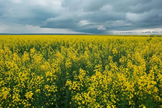 Paesaggio del campo di colza con cielo nuvoloso in una giornata piovosa.