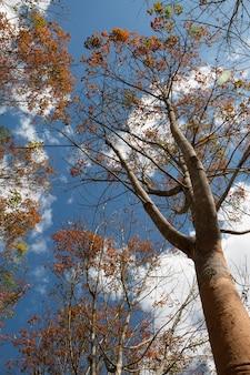 Piantagione di gomma paesaggio durante il giorno con il cielo blu