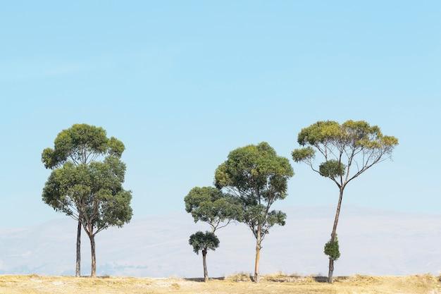 Scena paesaggistica composta da cinque alberi di eucalipto solitari su un altopiano, foto scattata nel distretto di sicaya