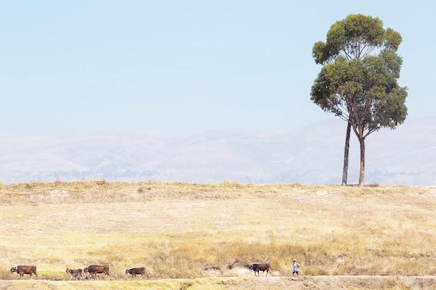 Scena del paesaggio composta da due solitari alberi di eucalipto su un altopiano e una pastorella ai piedi che cammina con il suo piccolo bestiame
