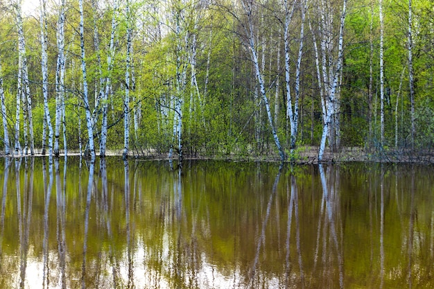 Paesaggio - boschetto primaverile di alberi allagati durante l'acqua alta