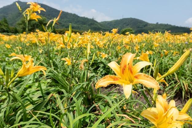 Paesaggio dell'azienda agricola dei fiori del giglio di tigre (daylily arancione) a taiwan