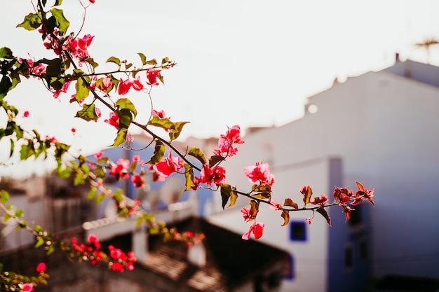 Il paesaggio rivaleggia di fiori rosa e città sfocata. concetto di turismo