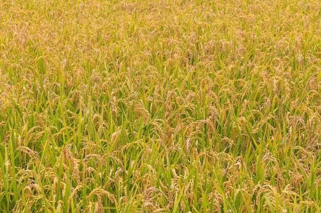 Vista del paesaggio di bellissime risaie