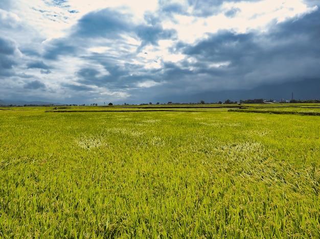 Vista del paesaggio dei campi di riso a taitung, taiwan.