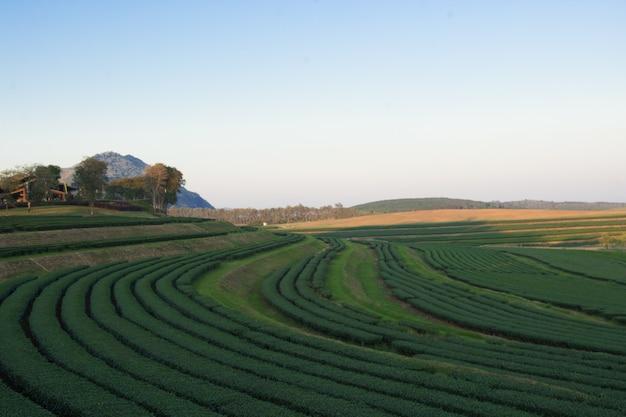 Vista del paesaggio della piantagione di tè in tempo tramonto.