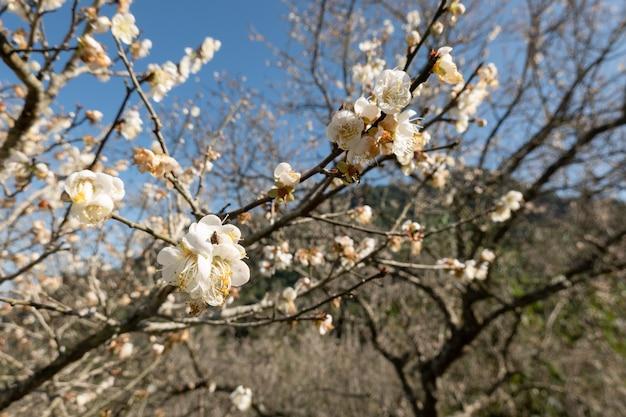 Paesaggio di prugna bianca sbocciano i fiori durante il giorno invernale a nantou, taiwan