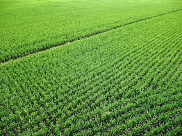 Paesaggio di ampia risaia verde pattern