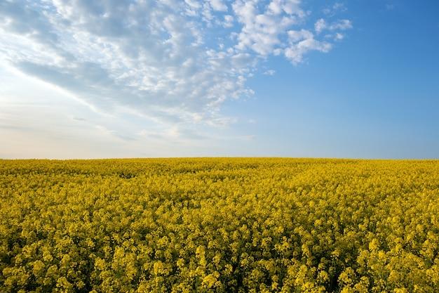 Paesaggio con campo agricolo di colza gialla in fiore e cielo blu chiaro in primavera