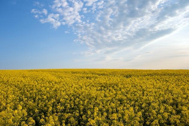 Paesaggio con campo agricolo di colza gialla in fiore e cielo blu chiaro in primavera.