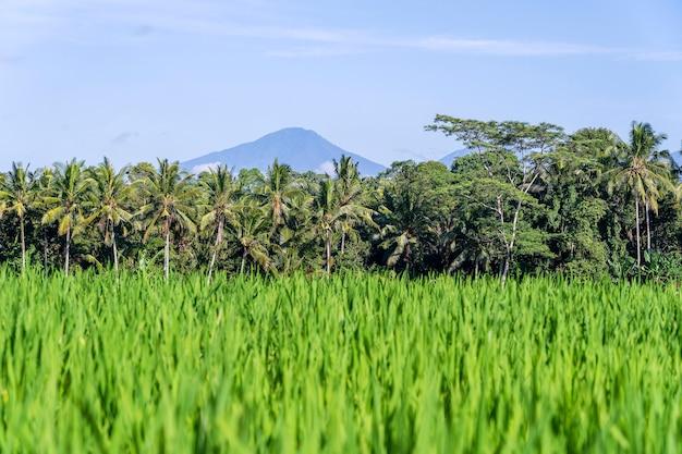 Paesaggio con risaie verdi, palme e vulcano agung nell'isola di bali, indonesia