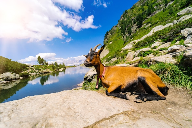 Paesaggio con capre di montagna nelle alpi europee.