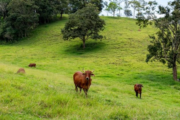 Paesaggio con pascolo e bovini sindhi