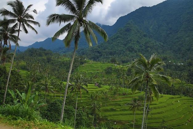 Paesaggi dell'isola di bali. bella vista delle terrazze di riso con palme.