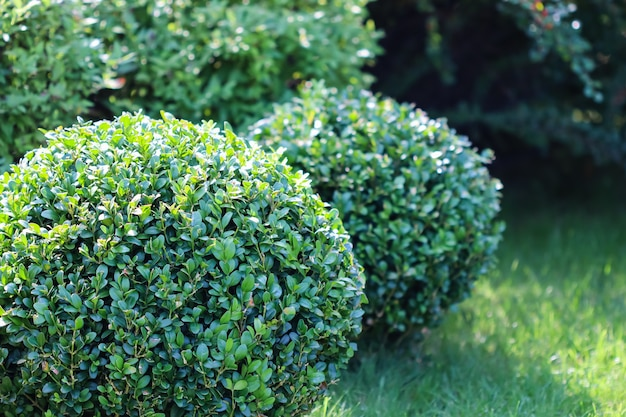 Abbellimento di un giardino con un prato verde brillante e buxus di bosso a forma di sempreverde decorativo