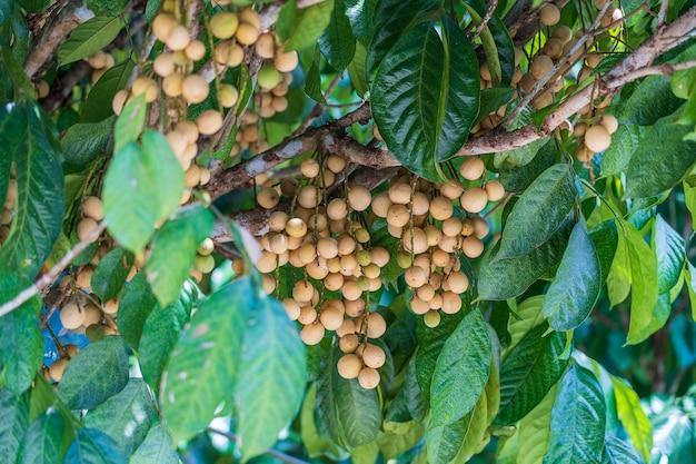Langsat o longkong o lansium parasiticum è pronto per la raccolta, troppi risultati produttivi sull'albero da frutto tropicale, thailandia, primo piano